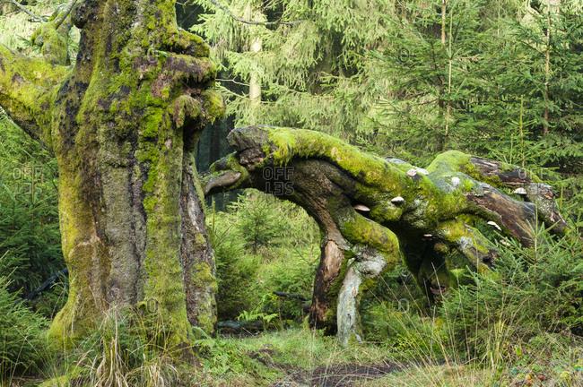 Gnarled beech with big broken branch, green shades, im hohen venn, belgium