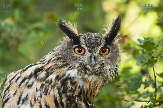 Eagle owl, bubo bubo, portrait,