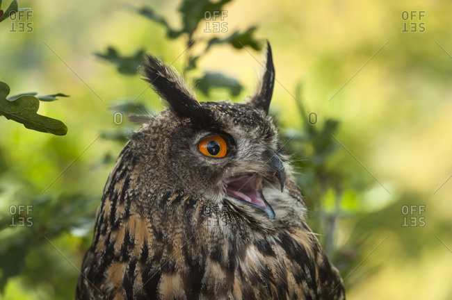 Eagle owl, bubo bubo, shouting, portrait,