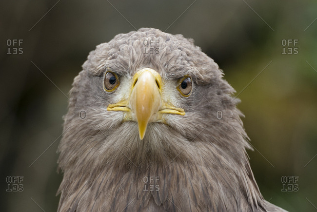 Close up portrait of an eagle, aquila