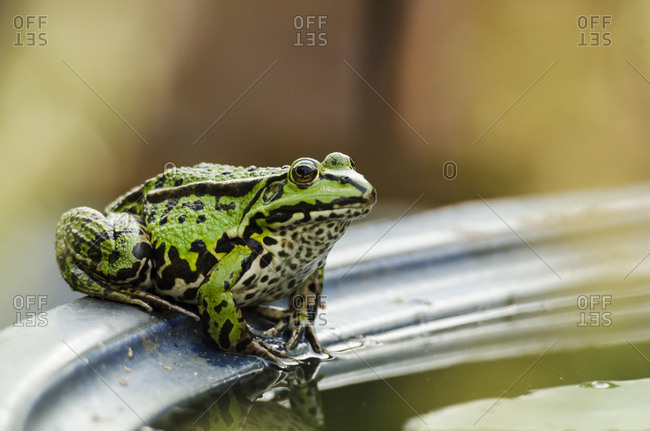Green frog, rana, water basin, edge, sitting,