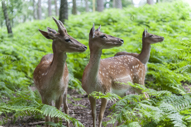 Forest, fallow bucks, three, attentive,