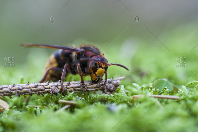 Hornet, vespa crabro, forest floor, mossy,