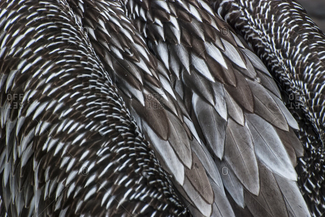 Abstract detail shot of cormorant plumage