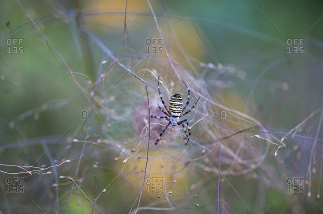 Wasp spider, argiope bruennichi, spiderweb, macro