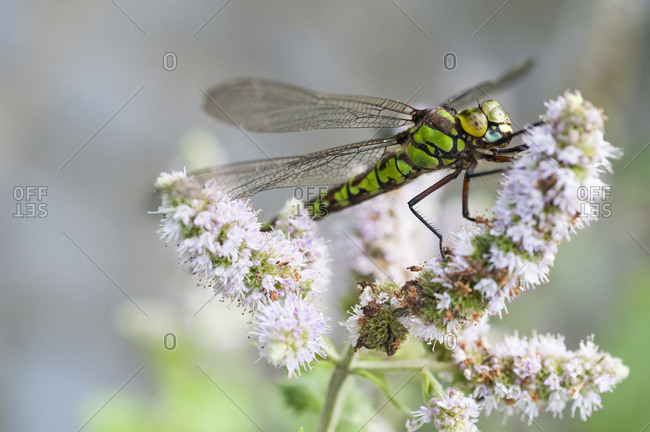 Macro view of hawker dragonfly on a flower