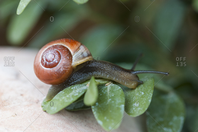 Smaller banded snail, leaves, macro,