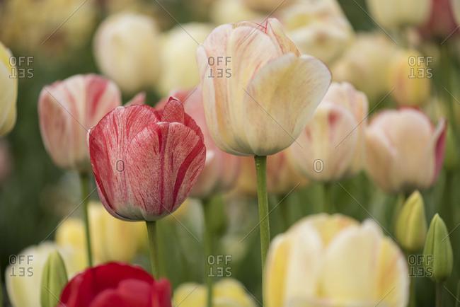 Close-up of three tulip blossoms