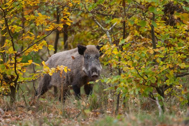 Wild boar in autumn leaves