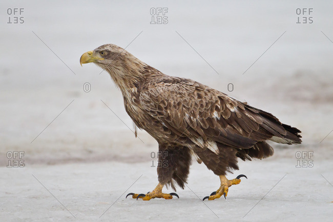 White-tailed eagle strides on the ground