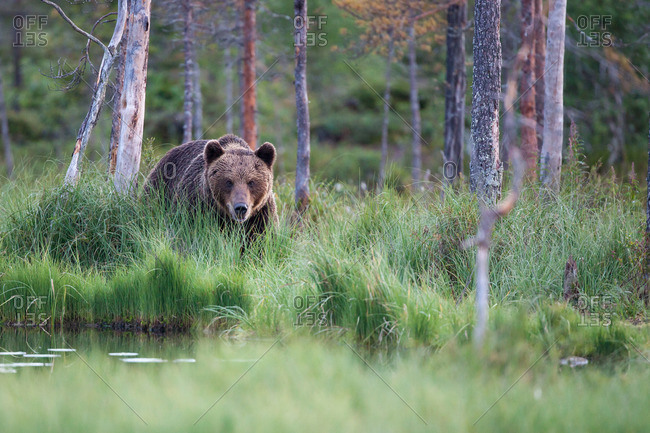 Brown bear, ursus arctos walking through tall grass