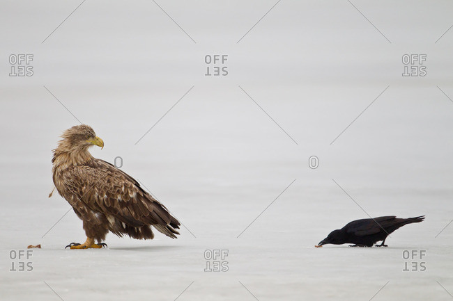 White-tailed eagle and carrion crow