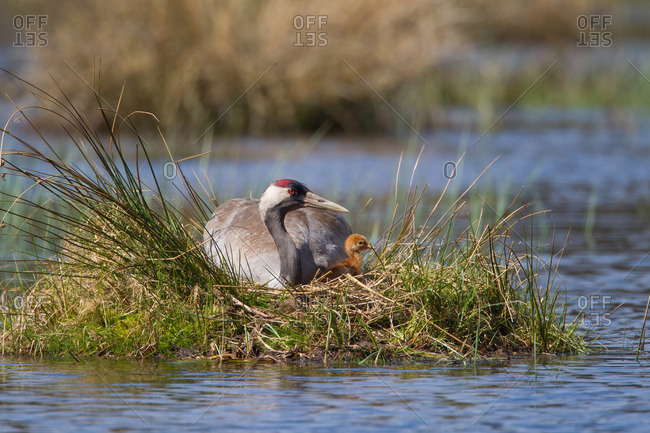 Crane with chicks at the nest