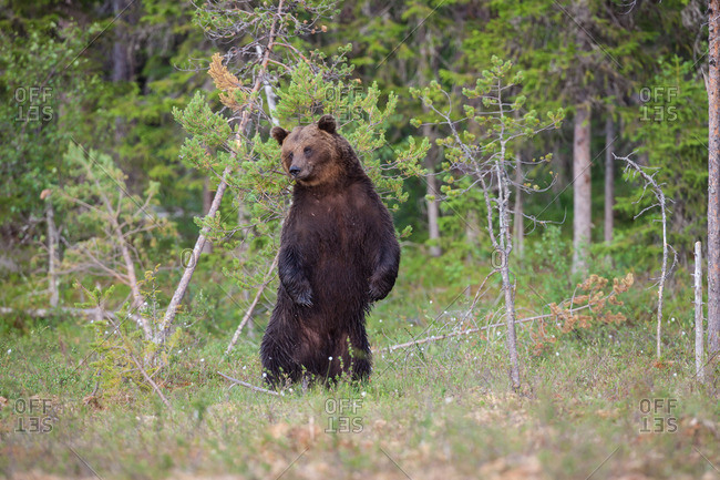Brown bear, ursus arctos standing up on hind legs