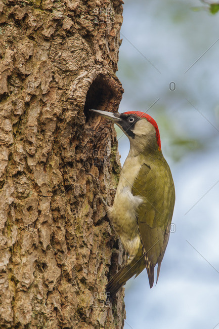 Green woodpecker at the breeding cave