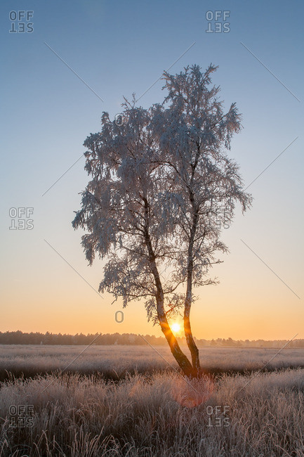 Birch with hoarfrost in front of the rising sun