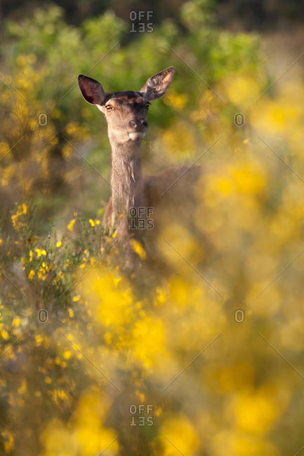 Doe in the broom bright yellow flowers