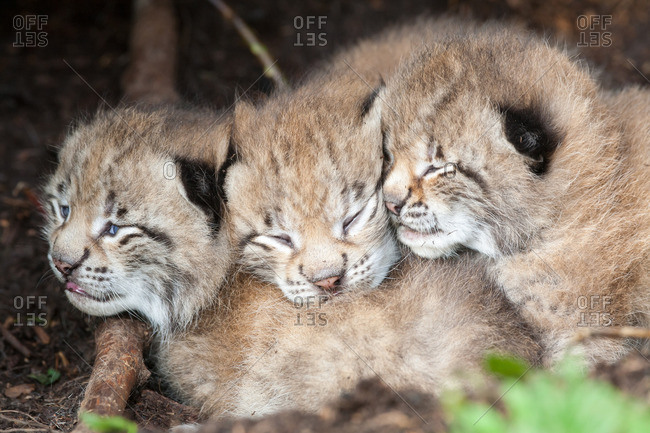 Three young lynx subs huddling close together