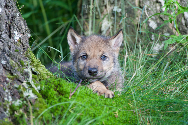 Wolf pup in the grass alone