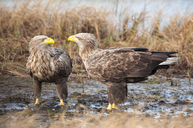 White-tailed eagle couple looks at each other