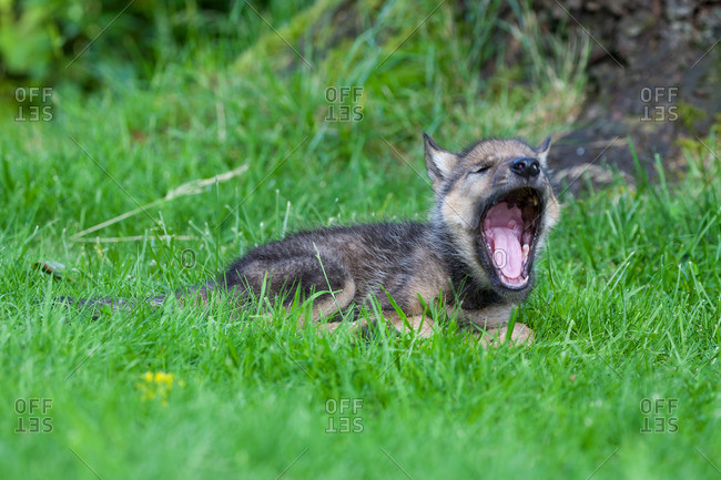 Wolf pup sits in the grass and yawns heartily