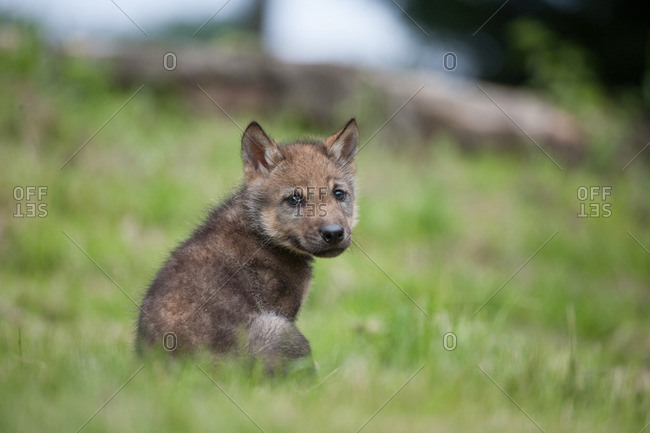 Wolf pup is sitting in the grass