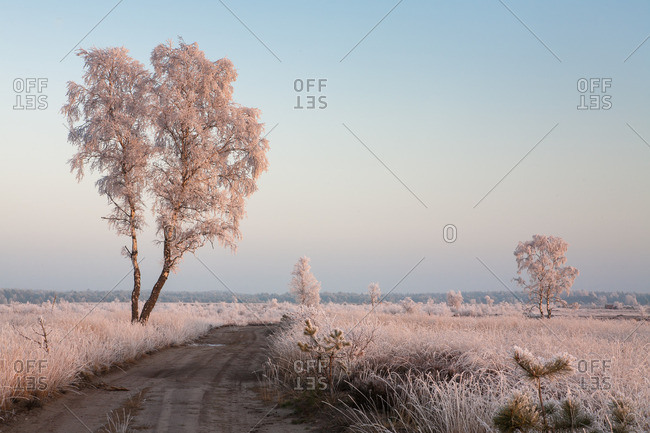 Birch with hoarfrost covered in heathland