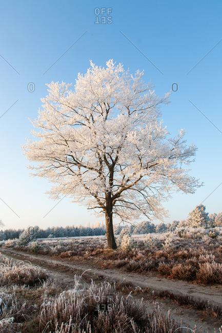 Oak with hoarfrost in the heathland