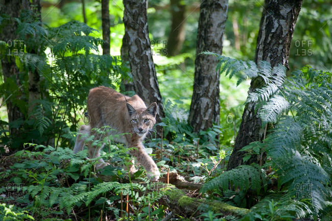 Lynx sneaks through the forest