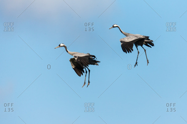 Cranes approaching against a bright blue sky