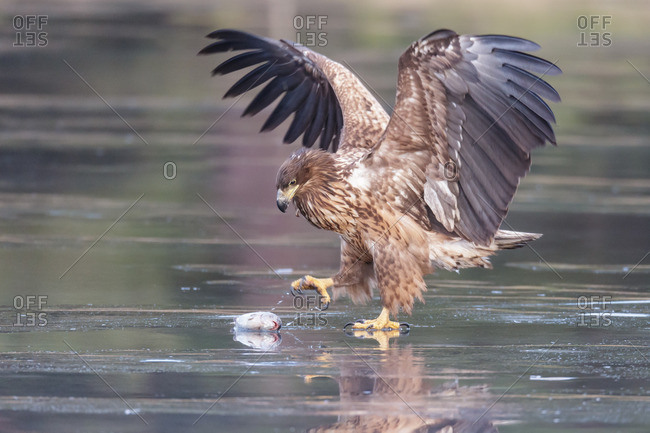 White-tailed eagle on the ice