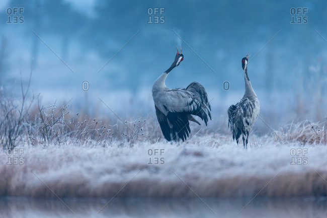 Crane pair, courtship calls at dawn