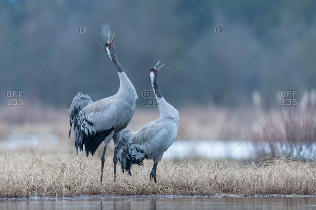Two cranes calling in courtship