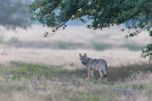 Wolf is under a tree