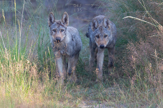 Two wolf pups in the wildness
