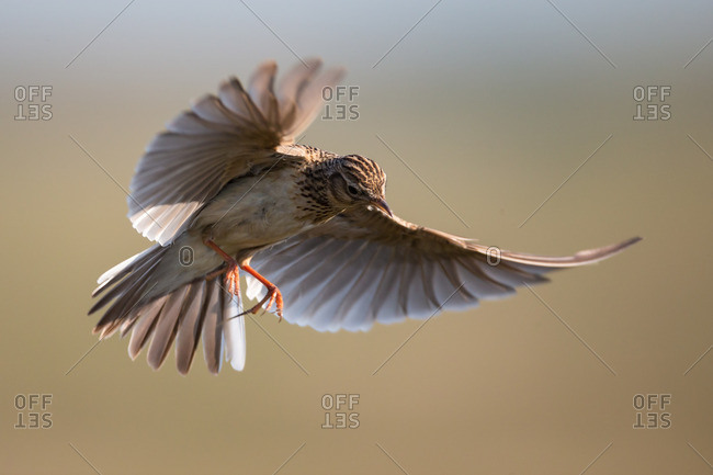 Skylark in flight showing motion in wings