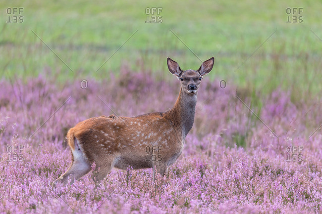 Deer calf in the heath
