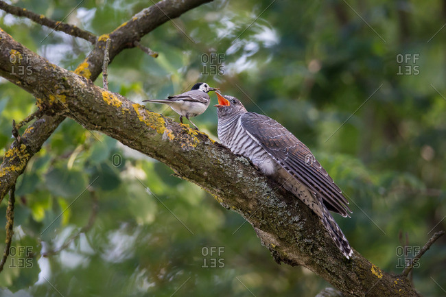 Cuckoo is fed by a wagtail