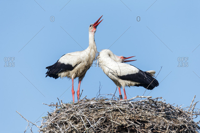 Two storks clatter on the nest