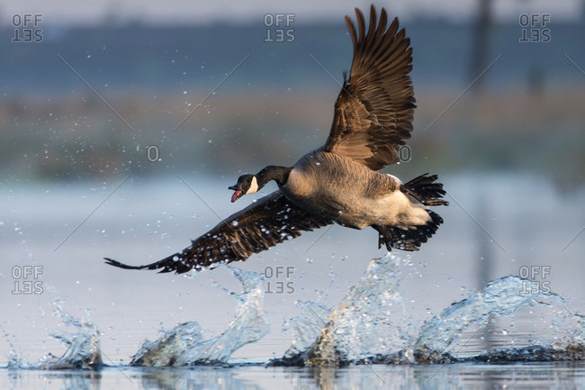 Canada goose flies up from a body of water