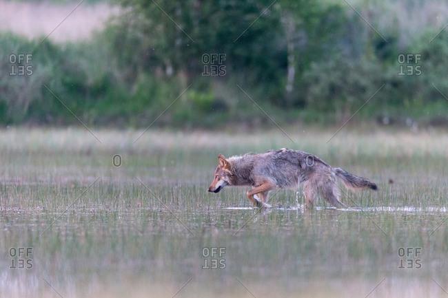 Wolf walking through marsh in the wild
