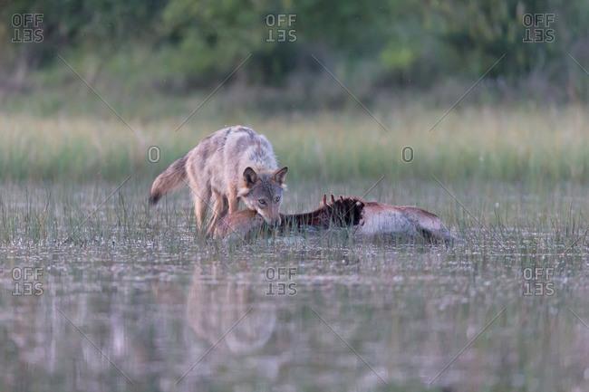 Wolf in the wild, prey, eat