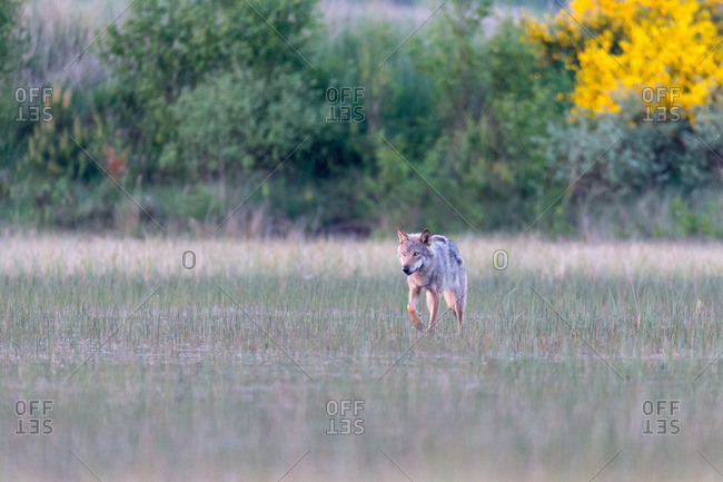 Wolf running through marsh in the wild