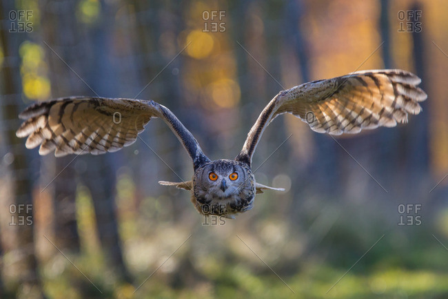 Eagle owl in the approach