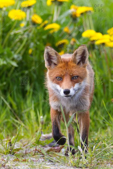 Fox in front of dandelion flowers