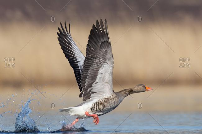 Greylag goose, anser anser, soaring