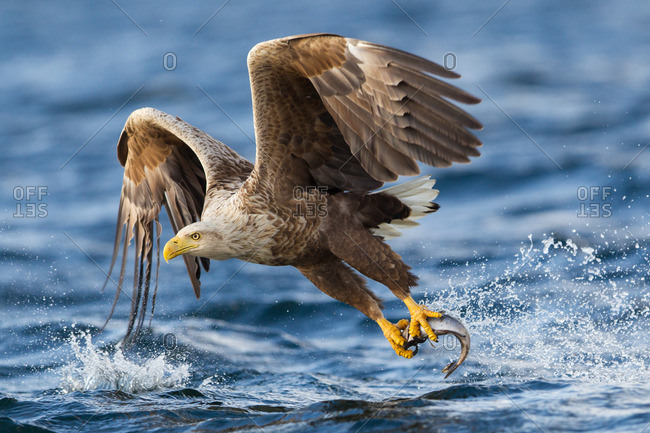 Flying sea eagle with fish as prey