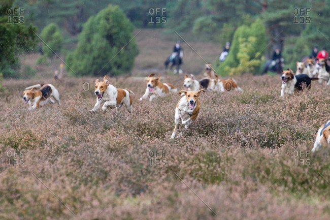 A pack of foxhounds running through a field