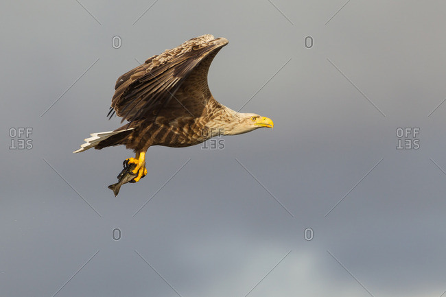White-tailed eagle flying with fish as prey