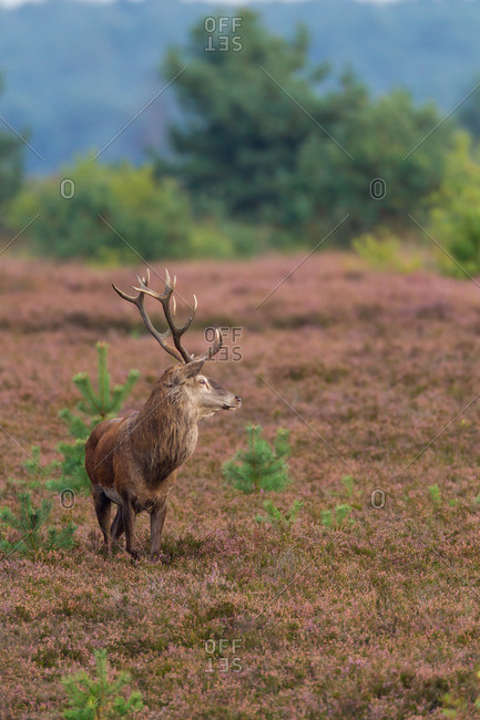 Wild cervid standing in heather